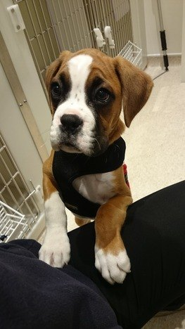 Puppy party Grove Lodge Vets boxer puppy