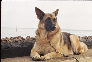 Flavia, German Shepherd