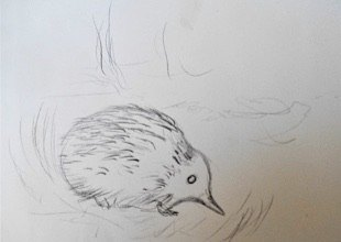 i endeavor to draw the animal capturing its nature and personality in the case of the echidna