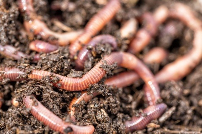 Earthworms are important to the health of soil and are beneficial to improving soil over time.